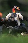 Adult King Vulture (Sarcoramphus papa) feeding at a carcass. Laguna del Lagarto, Boca Tapada, Caribbean slope, Costa Rica, Central America.