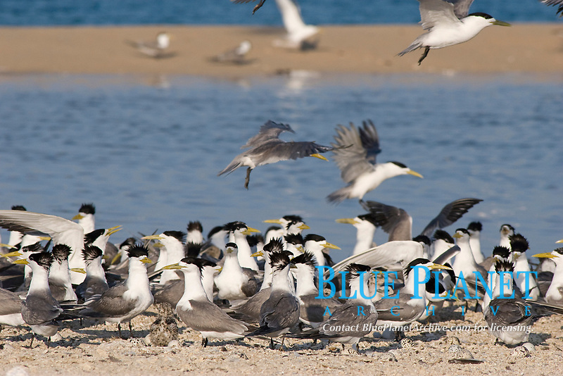 a rising spring tide floods across the cay, threatening a breeding colony of crested terns, Sterna bergii, Turu Cay, Torres Strait, Queensland, Australia