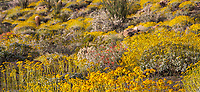 Encelia farinosa, Brittlebush flowering shrub in Sonoran Desert at Anza Borrego California State Park