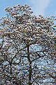 Magnolia x loebneri 'Merrill' (kobus x stella), mid March.