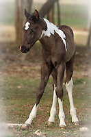 One month old Foal in Spring.