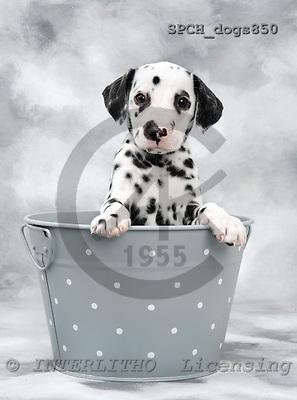 Xavier, ANIMALS, dogs, photos, SPCHDOGS850,#a# Hunde, perros
