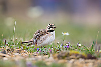 Horned lark with a mouthful of bugs and insects on springtime tundra, Denali National Park, Interior, Alaska.