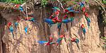 Gathering of Red-and-Green Macaws (Ara chloropterus) feeding at the wall of a clay lick. Heath River, Tambopata / Bahuaja-Sonene Reserves, Amazonia, Peru / Bolivia border.