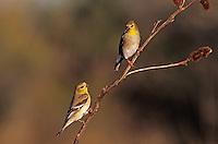 American Goldfinch, Carduelis tristis, adults winter plumage, Welder Wildlife Refuge, Sinton, Texas, USA, March 2005