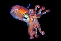 bobtail squid, Sepietta oweniana, Takvam, Sørfjorden, Bergen, Norway, North Atlantic Ocean