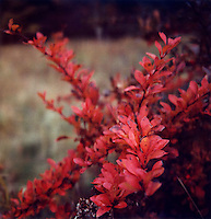 Red leaves<br />