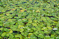 Lilly pods float on the surface of a pond.