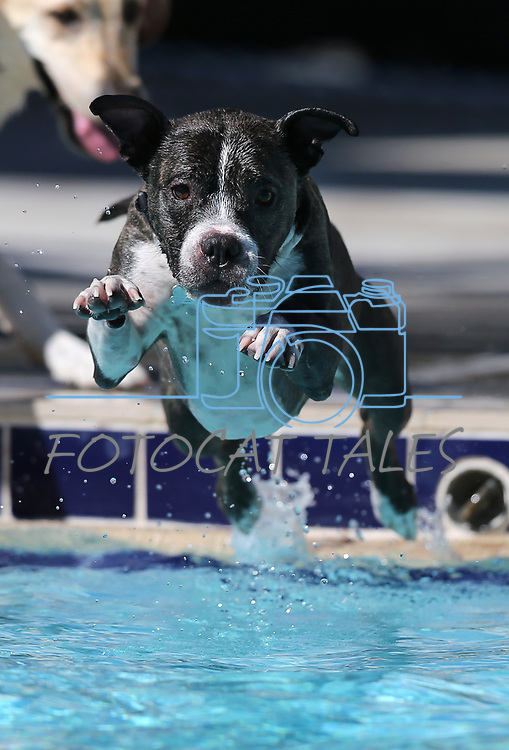 Mac plays at the 9th annual Pooch Plunge at the Carson City Aquatics Center in Carson City, Nev., on Saturday, Sept. 23, 2017. The event is a fundraiser for Carson Animal Services Initiative which supports the Nevada Humane Society in Carson City. <br />Photo by Cathleen Allison/Nevada Photo Source
