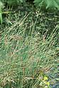 Juncus ensifolius, mid July.