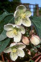 "Helleborus x ericsmithii hybrid between H. niger x H. x sternii, formerly known as ""H. x nigristern"""