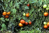 HS09-017a  Tomato - on vine, vendor variety