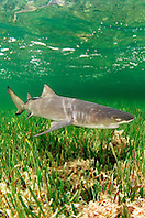 lemon shark, .Negaprion brevirostris, .Little Card Sound, Biscayne Bay, .Key Largo, Florida (Atlantic)