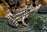 Pickerel Frog; Rana palustris