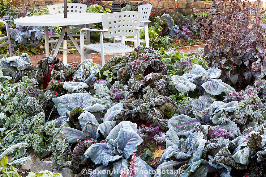Frosty morning winter vegetables in LynMar Winery edible garden