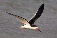 Black Skimmer (Rynchops niger) flying over water while searching for food