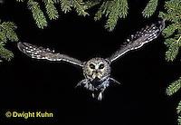 OW07-049z  Saw-whet owl - flying - Aegolius acadicus