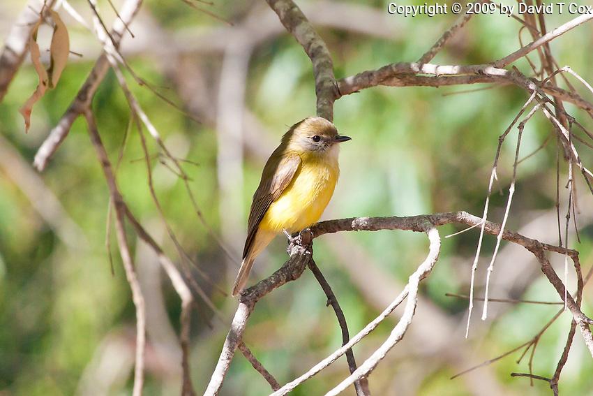 Lemon-Bellied Flycatcher, Yellow Water, Kakadu NP, NT, Australia