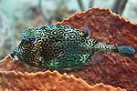 Acanthostracion polygonius, Honeycomb cowfish, Statia