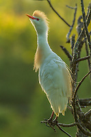 North America, USA, Florida, Orange County, cattle egret in breeding plumage