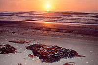tar from both natural seeps and oil spills, deposited on the nesting beach of critically endangered Kemp's ridley sea turtle, Lepidochelys kempii, Rancho Nuevo, Mexico, Gulf of Mexico, Caribbean Sea, Atlantic Ocean