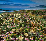 Angelica, Angelica Lucida,  Asters, Erigeron glaucus, Mattole Beach, King Range National Conservation Area, The Lost Coast, Humboldt Co, California