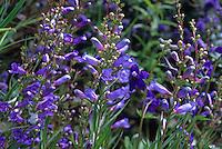 Penstemon heterophyllus 'Blue Bedder'