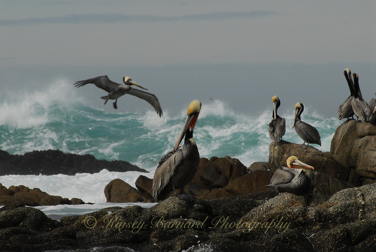 """""""COMMUNITY""""<br /> <br /> A gathering of California Pelicans on the rocky shore near Monterey California. One bird is takes flight out over waves and rough seas."""