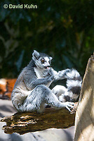 0303-1101  Ring-tailed Lemur, Lemur catta  © David Kuhn/Dwight Kuhn Photography