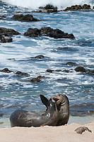 Hawaiian monk seals, Neomonachus schauinslandi, Critically Endangered endemic species; a 5 year old male (RO36) scuffles with a female, (R318); Beach 4, west end of Molokai, USA, Pacific Ocean