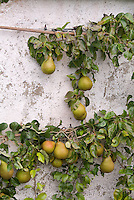Espaliered fruit pears against wall Pyrus communis