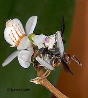 "0719-07xx  Malaysian Orchid Mantis Consuming Prey - Hymenopus coronatus ""Nymph"" - © David Kuhn."