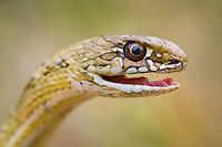 Montpelier Snake, Malpolon monspessulanum, note eye, Pontevedra, Spain