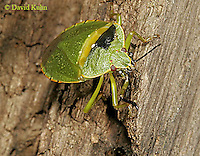 1007-06oo  Green Stink Bug - Acrosternum hilare - © David Kuhn/Dwight Kuhn Photography.
