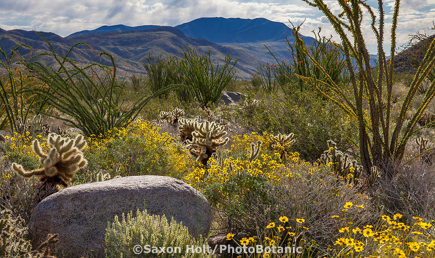 Cholla cactus, Ocatillo, Brittlebush on the Sonoran Desert floor at Anza Borrego California State Park, spring superbloom