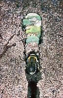 Große Harzbiene, im unterirdischen Nest mit Blattstücken, Trachusa byssina, Anthidium byssinum