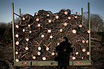 "November 23, 2008. Ashe County, NC.. The Christmas tree industry in Ashe County..Trees that have grown to their desired height are cut by hand, due to the steep terrain in which they grow, and loaded onto trucks for hauling to a loading yard..  Ashe Co. is ideal for Frazier firs as the altitude, soil, and temperatures are perfect for the finicky trees.. The trees are grown at nurseries until they are 5 years old and then planted. They will grow to an average of 7 to 8 feet tall, the ""ideal"" Christmas tree height, before being cut and sold. Some are cut smaller and larger, but the majority of sales come in the 7 to 8 foot range."