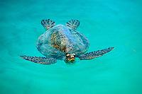 green sea turtle, Chelonia mydas, Midway Island, Hawaii, Pacific Ocean