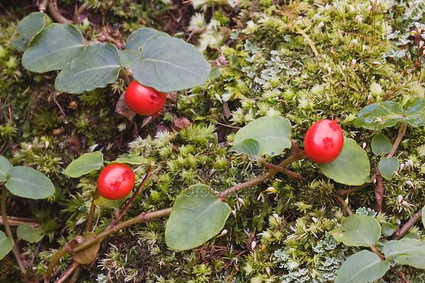 Partridgeberry (Mitchella repens), berries, Weymouth Woods-Sandhills Nature Preserve, Southern Pines, North Carolina, USA
