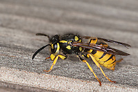 Deutsche Wespe, Vespula germanica, Vespa germanica, Paravespula germanica, German wasp, European wasp