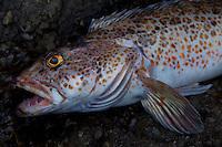 Ling Cod (Ophiodon elongatus), Shaw Island, Washington, US