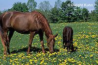 SH08-007z  Arabian Horse - mare and colt feeding on grass