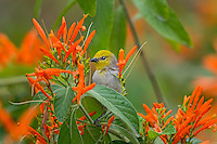 Verdin (Auriparus flaviceps) on Mexican Firecracker plant.  Southern California,  February.