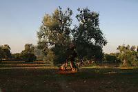 Italia Puglia  Albero di ulivo Italy Puglia olive tree, olives<br /> <br /> Italie Pouilles olivier, l'olive
