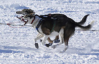 Sunday, March 4, 2012  Jodi Bailey Dogs run at the Retart of Iditarod 2012 in Willow, Alaska.