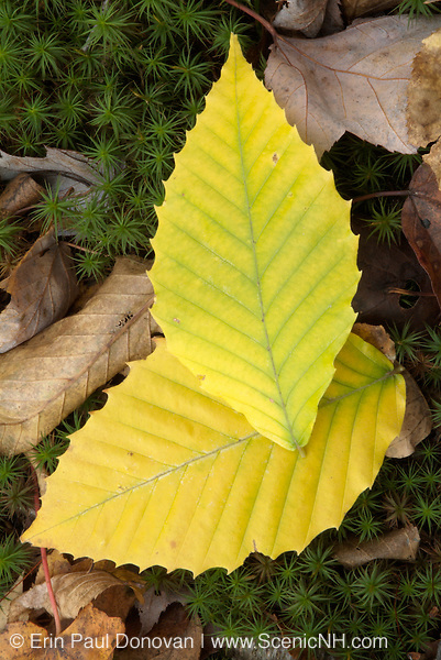 Beechnut Leafs on the ground during the autumn  months