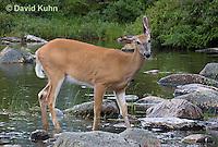 0623-1012  Northern (Woodland) White-tailed Deer, Odocoileus virginianus borealis  © David Kuhn/Dwight Kuhn Photography