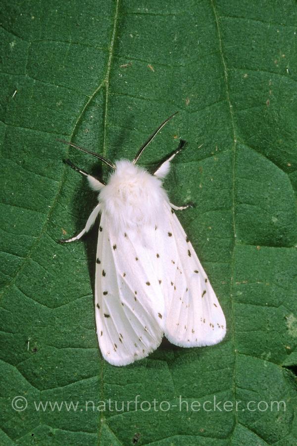 Weiße Tigermotte, Punktierter Fleckleib-Bär, Breitflügeliger Fleckleibbär, Minzenbär, Spilosoma lubricipeda, Spilosoma menthastri, white ermine moth, Bärenspinner, Arctiidae