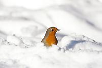 Rotkehlchen, im Winter bei Schnee, Erithacus rubecula, robin, Le Rouge-gorge familier