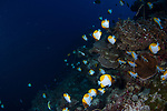Pyramid butterflyfish, Hemitaurichthys polylepsis, Tubbataha,Php